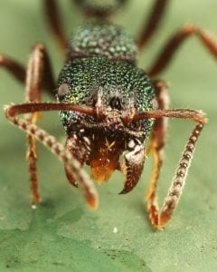Green ant with mandible wide open